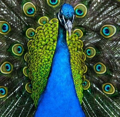 Peacock spreqding its tail Laetitia Antonowicz laetitia coach