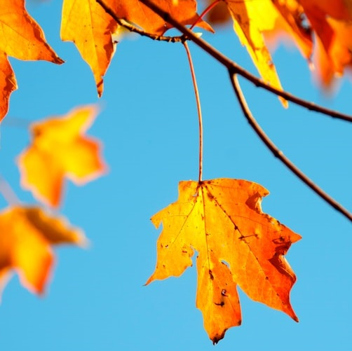 Plane tree leaf golden orange about to fall